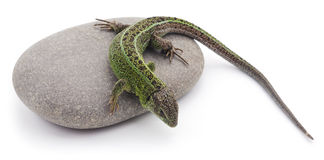 Lizard on the stone. royalty free stock photography