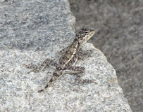 Lizard on stone Royalty Free Stock Photography