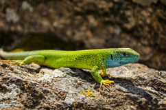 A lizard is on a stone Royalty Free Stock Photos