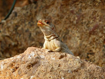 Lizard on the stone Royalty Free Stock Photo