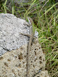 Lizard on a stone Stock Photos