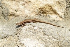 Lizard on stone Royalty Free Stock Photo