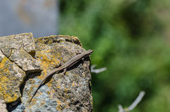 lizard on stone in the sun Royalty Free Stock Photos