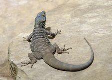 Lizard on stone surface Stock Image