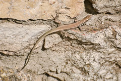 Lizard on Stone. Viviparous Lizard Lacerta Vivipara on the Stone Royalty Free Stock Image