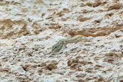 Lizard on Stone. Viviparous Lizard Lacerta Vivipara on the Stone Stock Images
