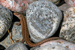 Lizard in the stones Royalty Free Stock Photography