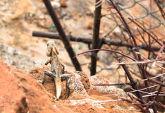 Lizard on stones. The brown lizard laying on the stones under the sun Stock Photos