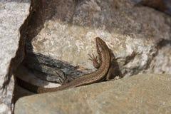 Lizard between the stones Stock Images