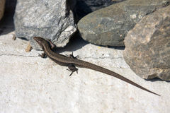 Lizard between the stones Royalty Free Stock Photos