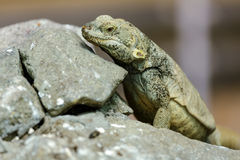 Lizard on stones. Stock Photo