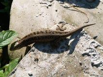 Lizard on a stones. Small lizard on a stones stock photo