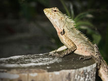 Lizard on the stump of a tree royalty free stock photos