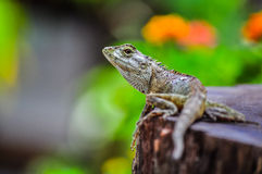 Lizard on stump Royalty Free Stock Photography