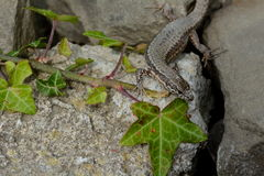 Lizard in summer Royalty Free Stock Photography