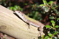 Lizard in the Sun Stock Photography