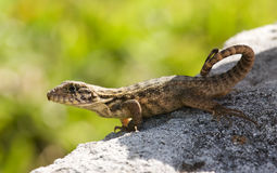 Lizard in sun Stock Image