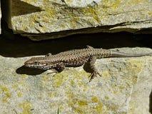 Lizard in the sun stock image