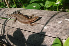 Lizard in the sun Royalty Free Stock Images