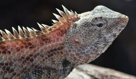 Free Lizard Sun Bathing Royalty Free Stock Images - 45071209