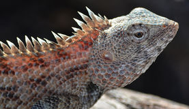 Lizard sun bathing Royalty Free Stock Images