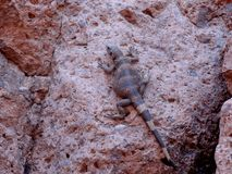 Lizard sun bathing on rock. Royalty Free Stock Image