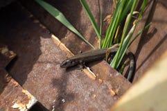 Brown lizard. The lizard in the sun beams Stock Photo