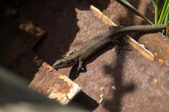 Small lizard. The lizard in the sun beams Stock Images