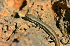 Lizard in the sun Closeup Stock Photo