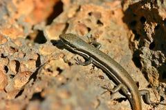 Lizard in the sun Closeup. An Australian Skink Lizard sunning on a rock Stock Photo