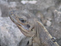 Lizard in the sun Stock Photos