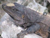 Lizard in the sun - 2 Royalty Free Stock Photo