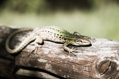 Lizard in the sun on a tree branch Royalty Free Stock Photo