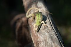 Lizard in the sun on a tree branch Stock Image
