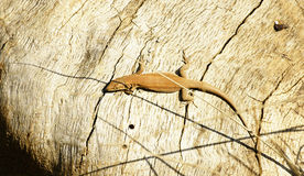 Lizard in the sun Royalty Free Stock Image