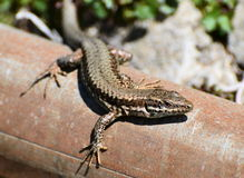 Lizard sunbath Royalty Free Stock Photo