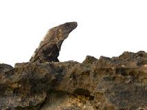 Lizard sunbathing Royalty Free Stock Photos