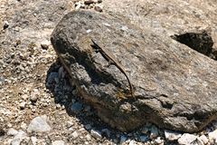 The lizard is sunbathing on a large stone ! royalty free stock photography