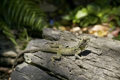 Lizard sunbathing on the log Royalty Free Stock Photography