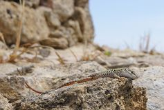A LIZARD SUNBATHING Royalty Free Stock Images