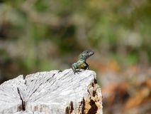 Lizard sunbathing royalty free stock photo