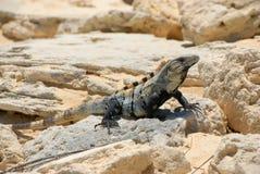 Lizard sunbathing on rock Royalty Free Stock Image
