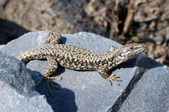 Lizard. The lizard is sunbathing on the rock royalty free stock photos