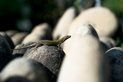 Lizard. Sunbathing on among the stones Royalty Free Stock Image