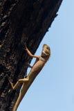 The lizard sunbathing Stock Photos
