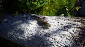 Lizard sunbathing on tree. View of Lizard sunbathing on tree Royalty Free Stock Image