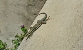 A lizard sunbathing on a wall Royalty Free Stock Photography