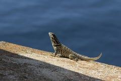 Lizard sunbathing on a wall Stock Photo