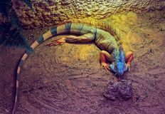 Lizard in the sunlight. A lizard is resting in the sunlight on a lazy afternoon Stock Photo