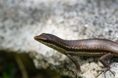 Lizard sunning itself on a rock Stock Image